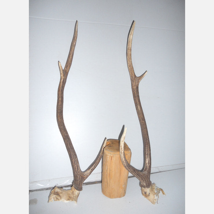 Axis Antler Set