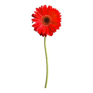 Daisy 42.5x108 Red