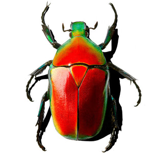 Beetle 37x48 Red