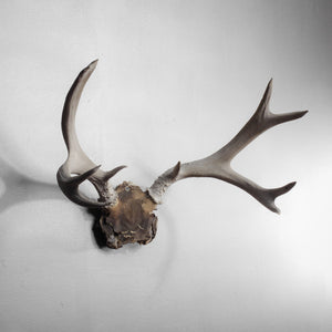 7 Point Deer Horns