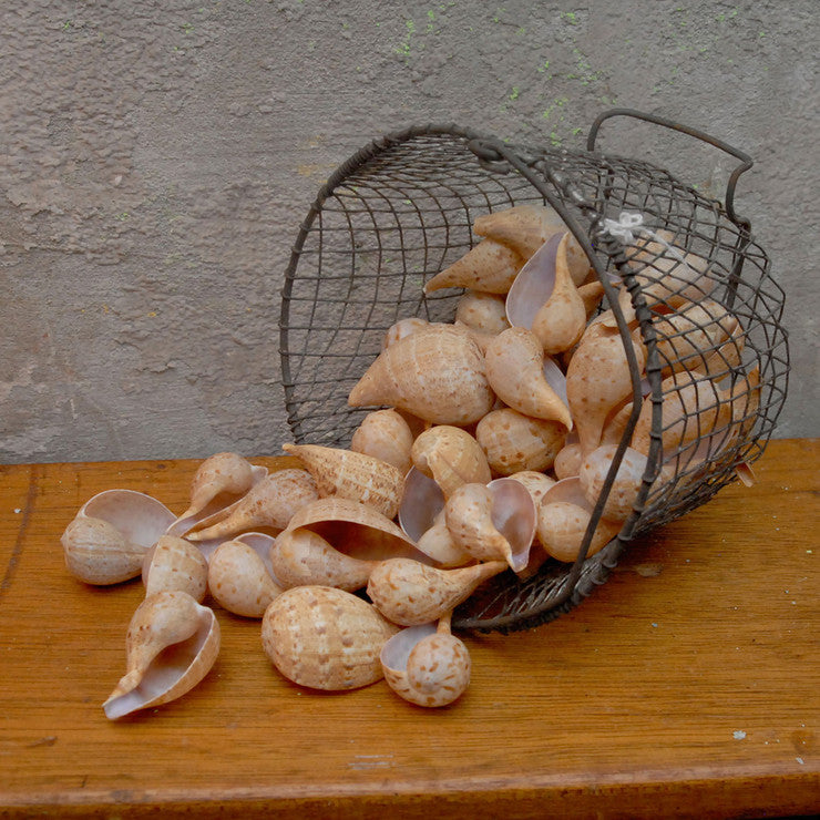 Fig Shells In Wire Basket