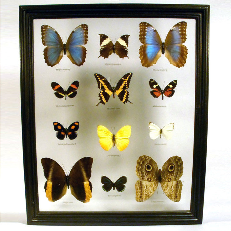 Costa Rican Butterfly Collection