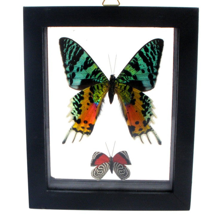 Framed Butterfly Pair IV