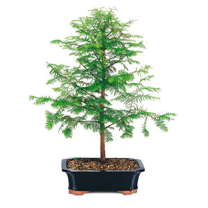 Dawn Redwood Small