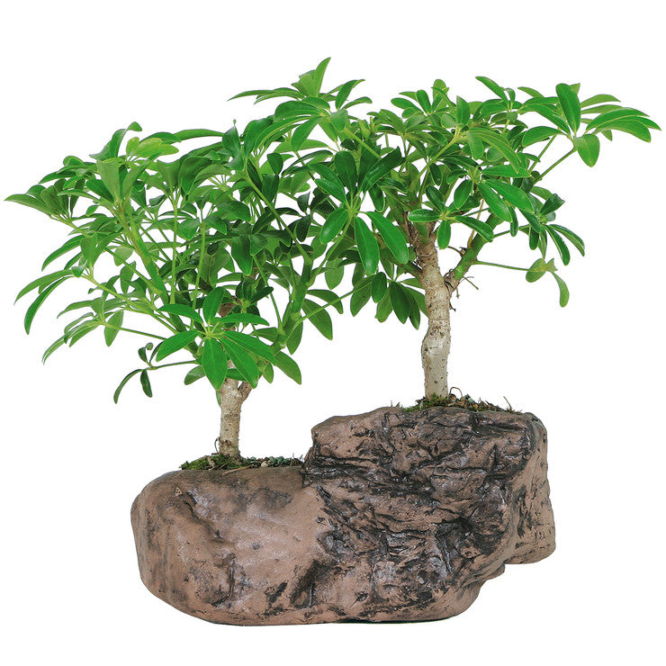 Hawaiian Umbrella Tree On Rock