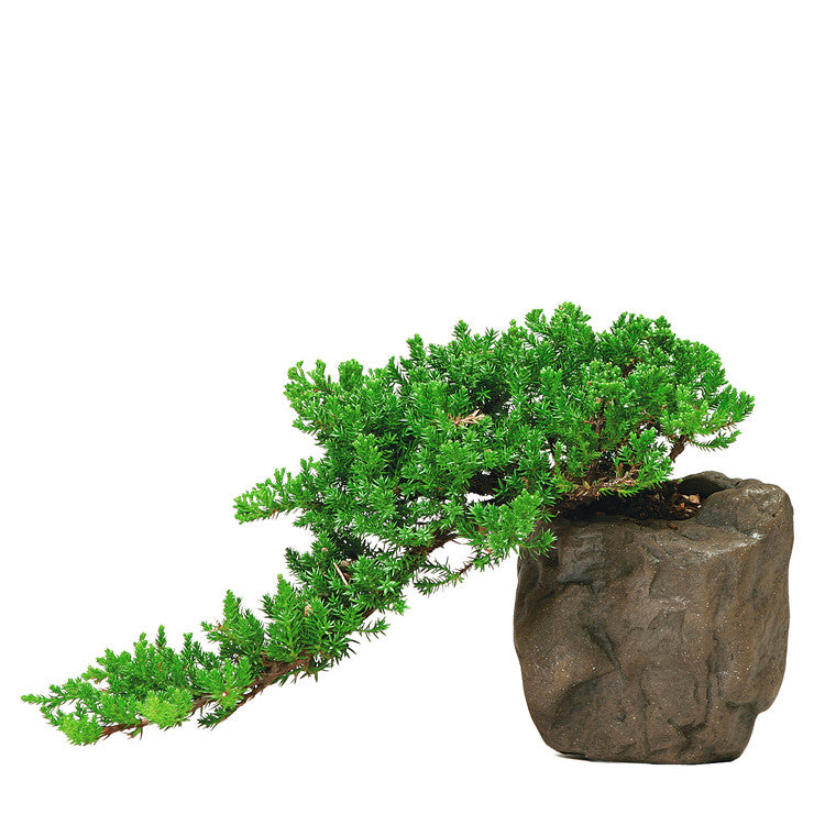 Green M. Juniper in Rock Pot Lrg
