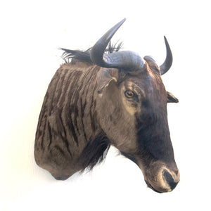 Blue Wildebeest Shoulder Mount