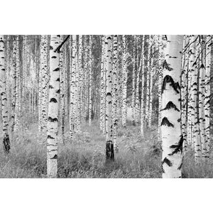Birch Forest Wall Mural