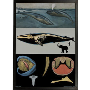 Blue Whale Framed Chart