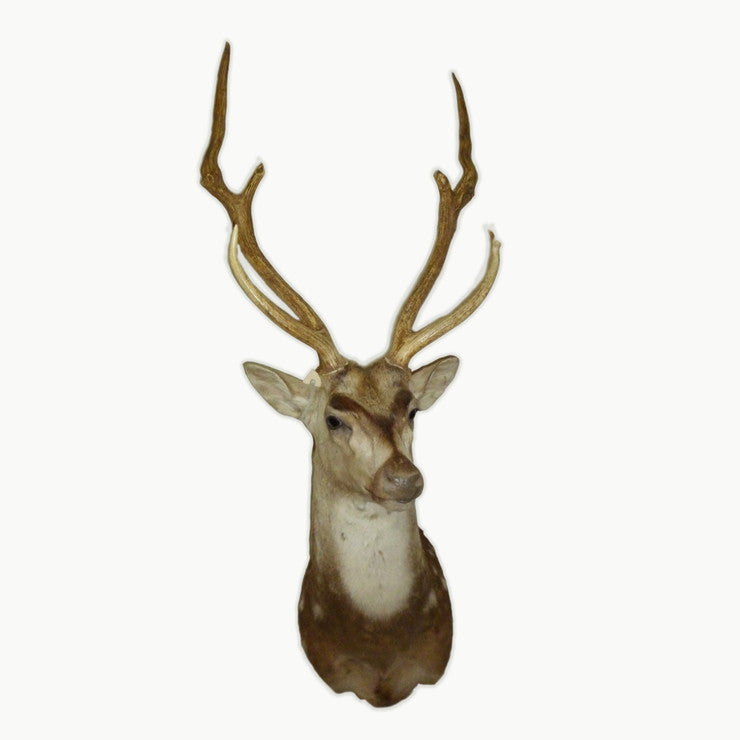 Axis Deer Shoulder