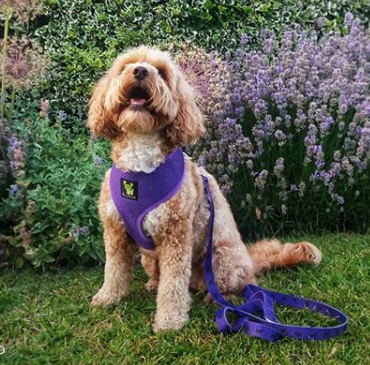 EcoBark Purple Harness and Leash