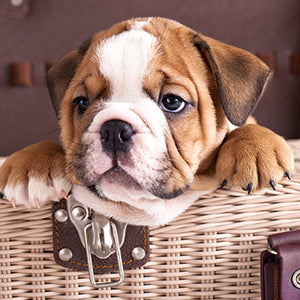 English Bulldog Behavior