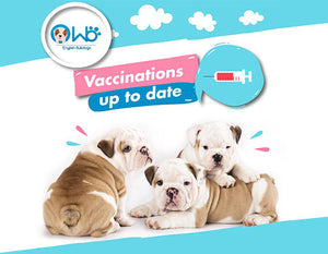 English Bulldog Puppy Vaccination