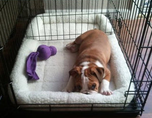 Crate Training your English Bulldog Puppy