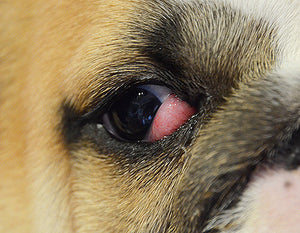 "What is ""Cherry Eye"" in English bulldogs?"