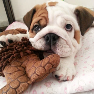 English Bulldog Feeding