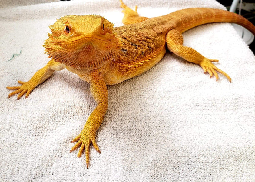 "Bearded Dragon as a ""Starter Pet"""