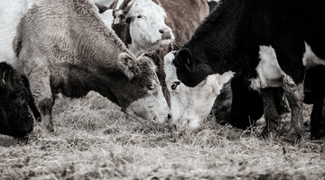 The musings of a Meatsmith: feed vs. cut, grass-fed what?