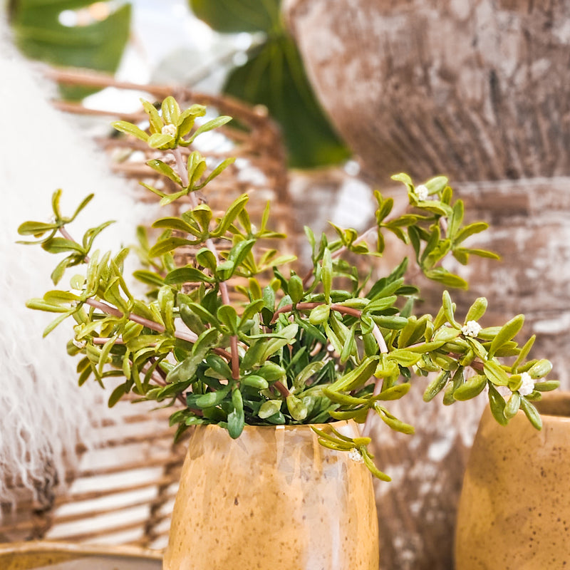 Seeding Tea Leaf Bush - Cream