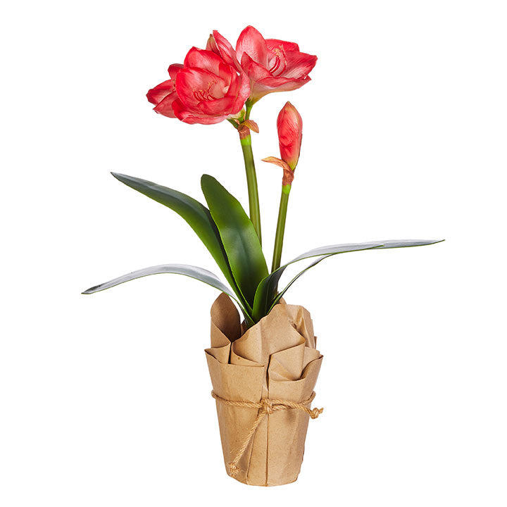Potted Red Amaryllis