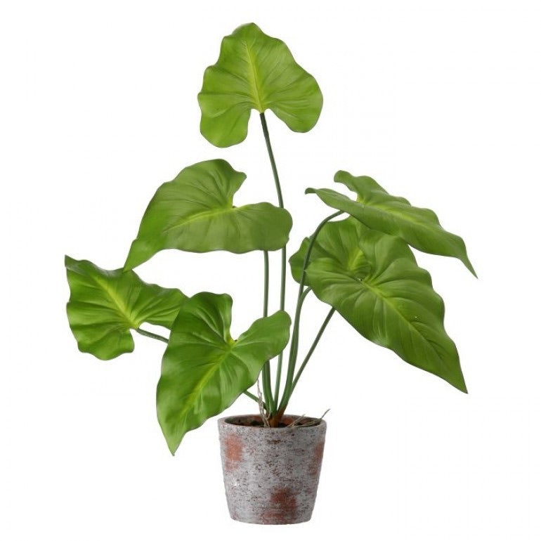 Potted Taro Plant
