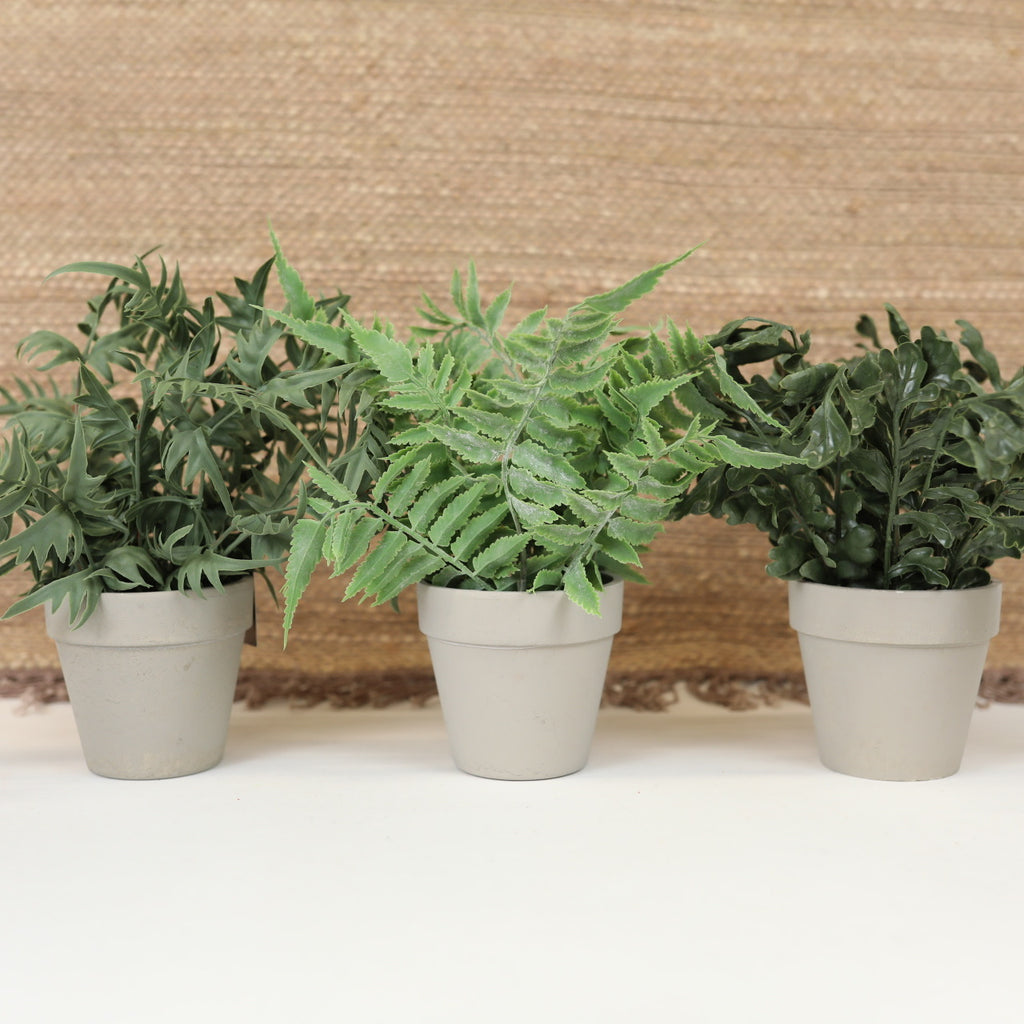 Assorted Potted Ferns - 3 Styles