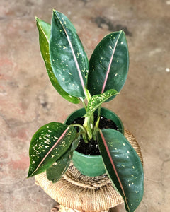 Aglaonema Pink Moon 5""