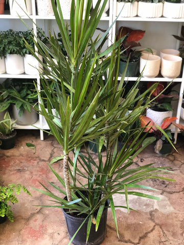 Dragon Tree 10""