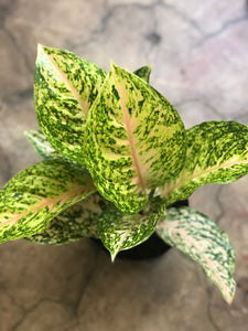 Aglaonema Two Tone Moonstone 6""