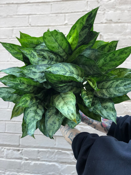 Aglaonema Indo Princess 8""