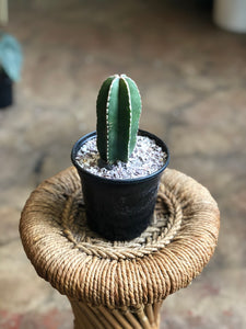 Mexican fence post cactus 4""