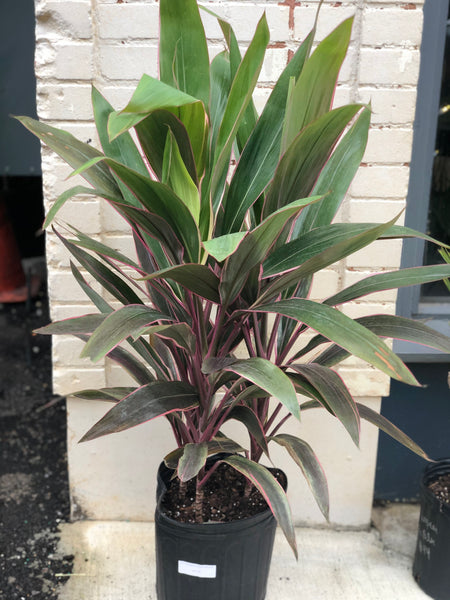 "Cordyline Pink Diamond 10""-14"""