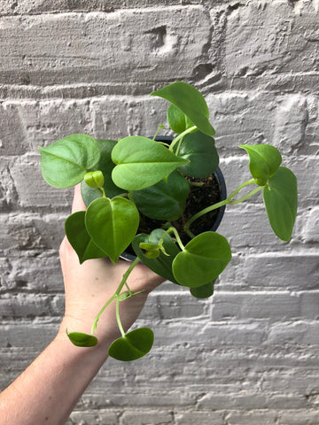Peperomia Cupid (scandens) 4""