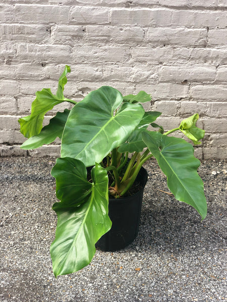 Philodendron Giganteum 10""