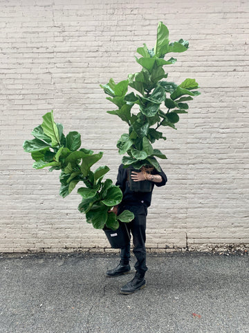 "Fiddle Leaf Fig Column 10""-12"""