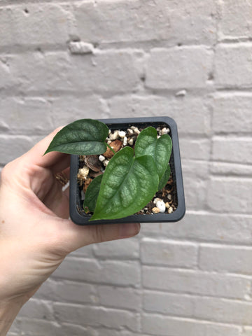 Monstera siltepecana 3""