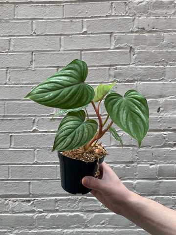 Philodendron mamei 'Silver' 4""