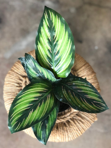"Calathea Beauty Star 4"" & 6"""