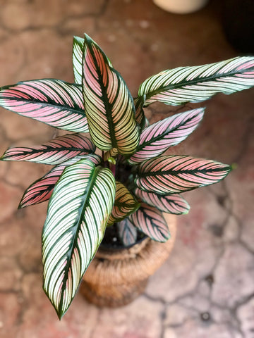 Calathea White Star 6""