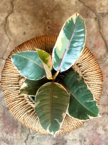 Ficus Elastica Ruby (Ruby Rubber Tree) 4""