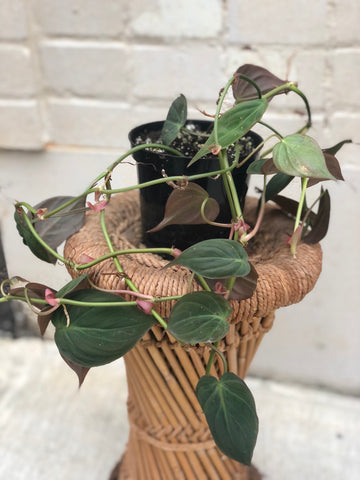 Philodendron 'Micans' 4""