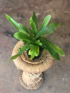 "Staghorn Fern 4"" & 6"""
