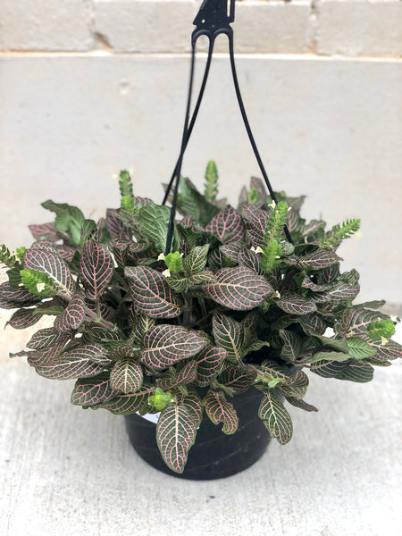 Fittonia (Nerve Plant) Hanging Basket 8""