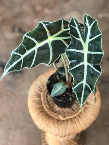 "Alocasia Polly 4""-6"""