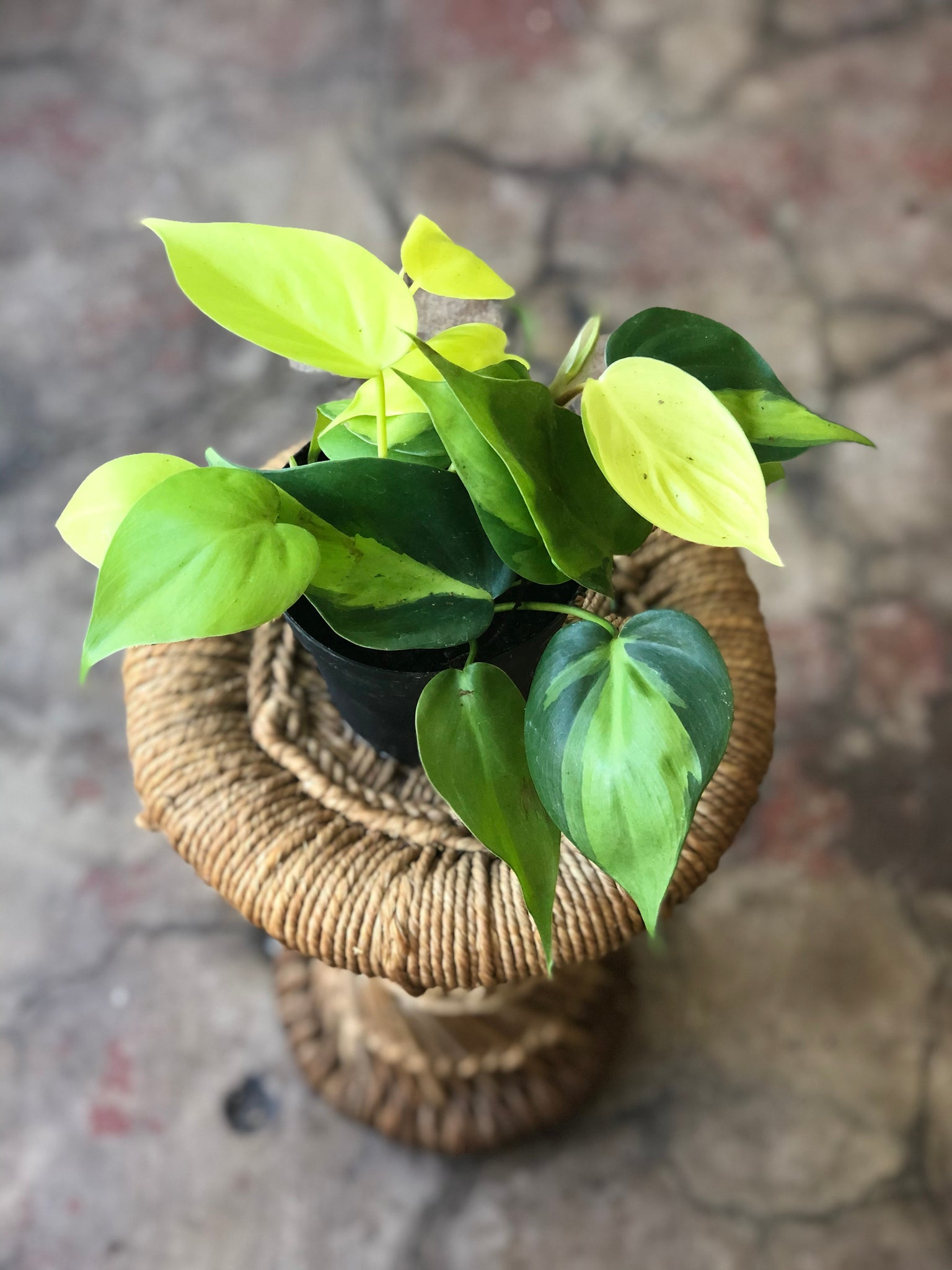 "Philodendron Brasil 4"" & 6"""