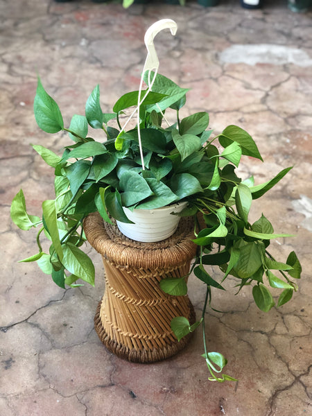 Pothos Hanging Baskets 8""
