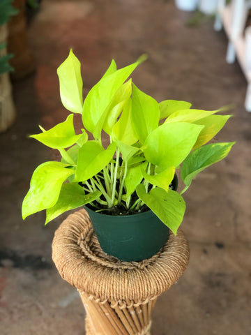 "Neon Pothos 4"" and 6"""