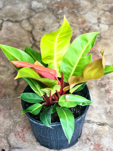 Philodendron Prince of Orange 10""