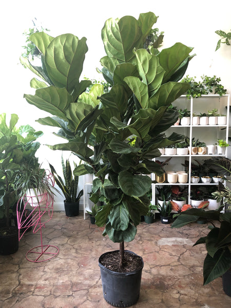 "Fiddle Leaf Fig 10"" & 14"""