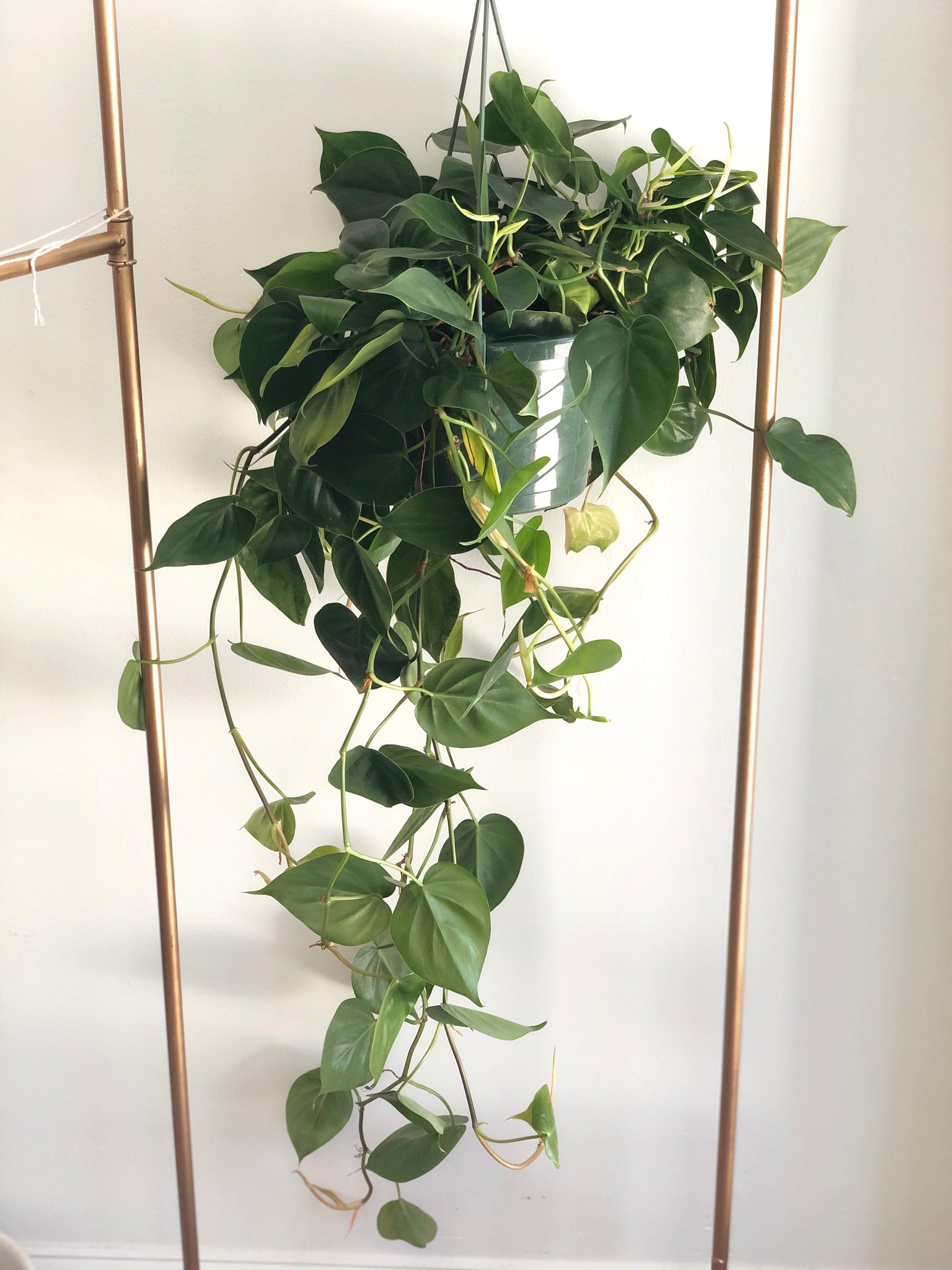 "Heart Leaf Philodendron Hanging Basket 8"" (Philodendron Cordatum)"
